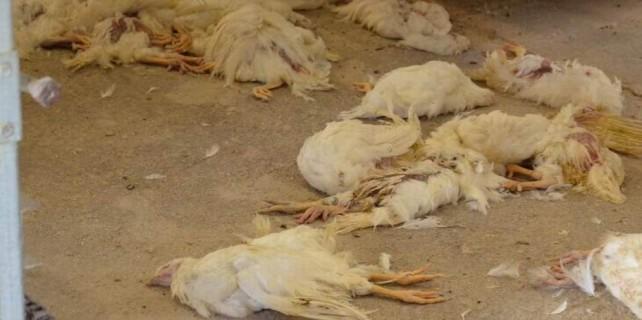 Kuş gribi kabusu Bursa'ya sıçradı...Binlerce hayvan itlaf edildi
