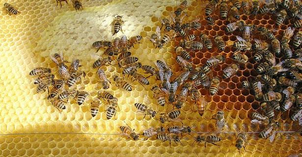 Bursa'da arıların kabusu