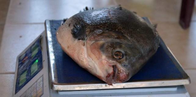 Katil balık Bursa sularında