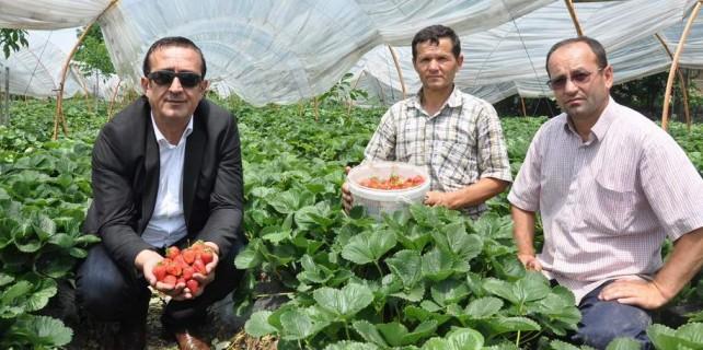 Türkiye'nin çileği Bursa'dan gidiyor