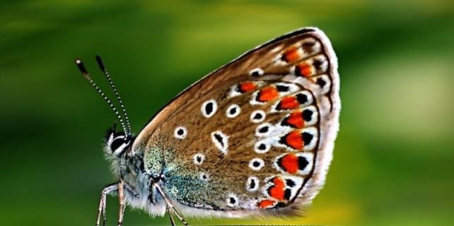150 milyon yıllık Apollo kelebeği bakın nerede ?