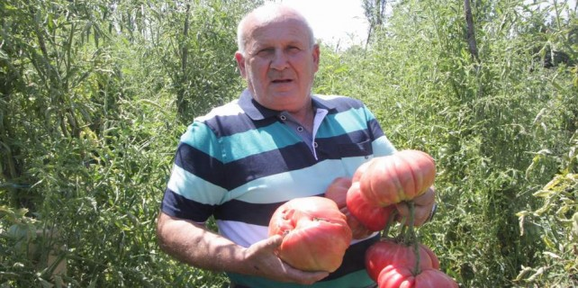 Bursa'da rekorluk domates yetiştirdi