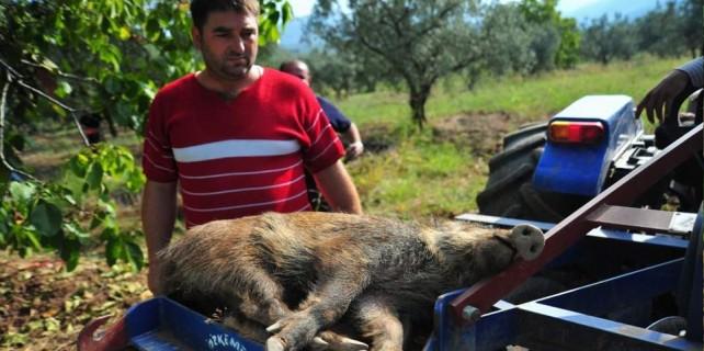 Bursa'da yaban domuzu paniği
