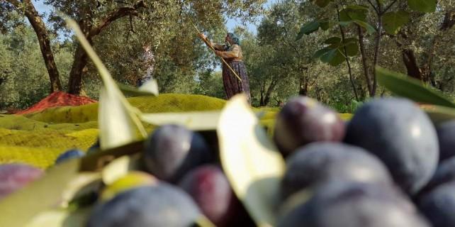 Zeytin hasadı başladı...Marmarabirlik yüzleri güldürdü...