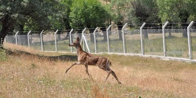 Bursa'nın kızıl geyikleri köylere indi...