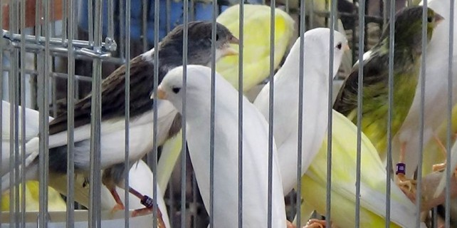 Bursa'nın şampiyon kuşları...
