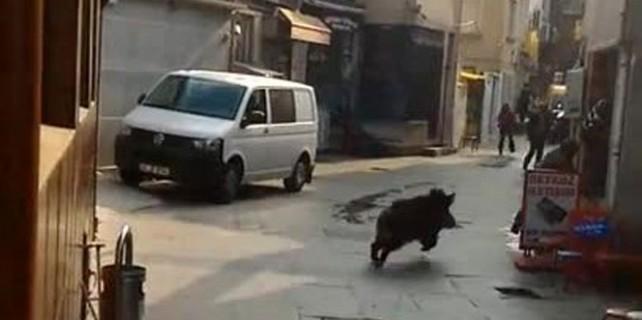 Şehrin göbeğinde domuz paniği