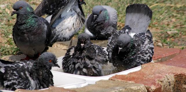 Hırsızlar değerli güvercinleri çaldı