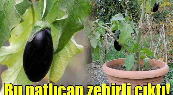 Gören hayrete düştü...Bu patlıcan zehirli çıktı