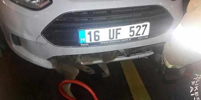 Görenleri şok eden olay...Otomobile tilki sıkıştı