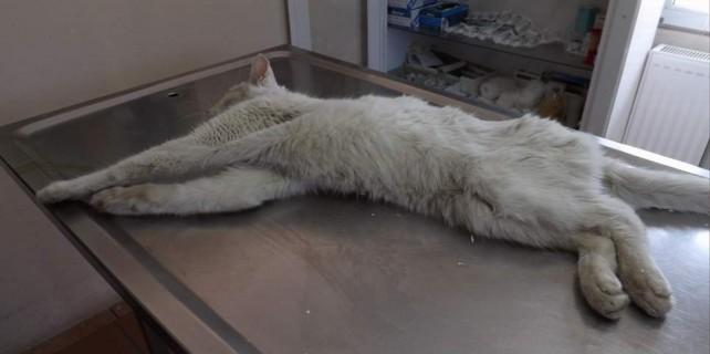 Otomobilin çarptığı kedi böyle hayata tutundu...