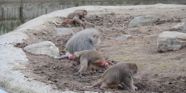 Bursa'da maymunlar iş başında...
