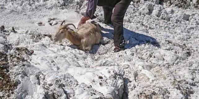 Keçiler mermer atıklarına saplandı