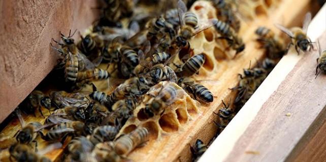 Uludağ'da katil arı tehdidi