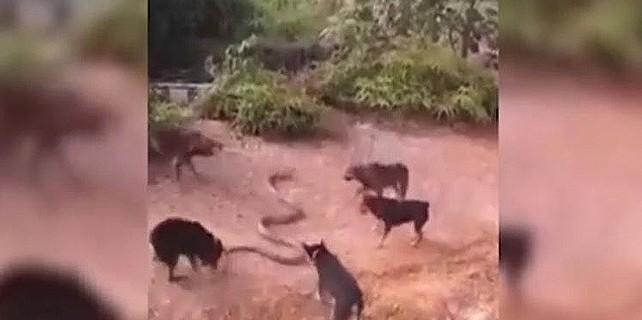 Av köpekleri, 5 metrelik pitonla karşılaşınca