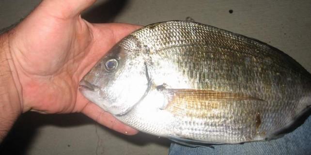Zıpkınla büyük balığı böyle avladı