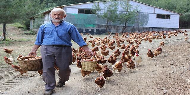 Tavukların efendisi