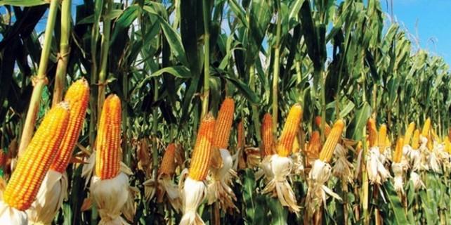 20 bin ton mısır elde edildi