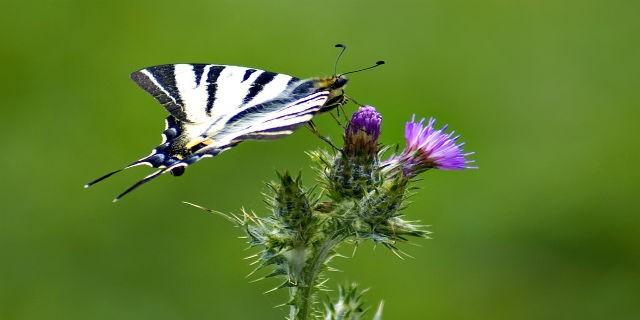 Ömrü bir günlük kelebekler böyle görüntülendi