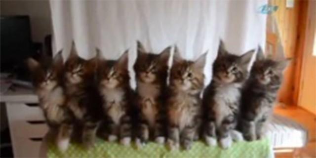 7 yavru kediden senkronize dans şov