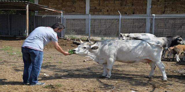 Klonlu sığırlar eti ucuzlatacak
