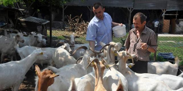 Bu keçiler para basıyor