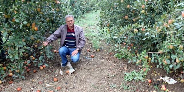 Bursa'da 250 bin elma ağacı sökülecek...
