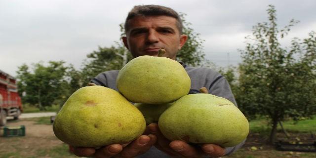 Bursa ovasında yetişen bu armutların bir tanesi 1,5 kilo