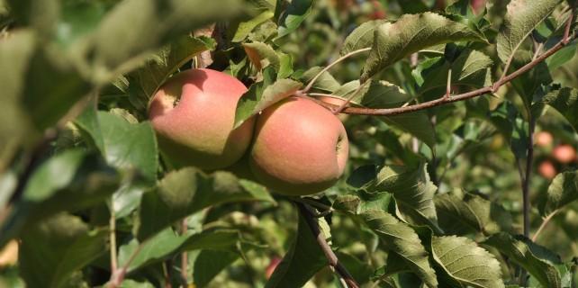 Bursa'da elma hasadı başladı