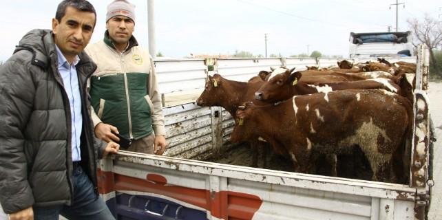 Bursa'da genç çiftçilere büyükbaş hayvan desteği