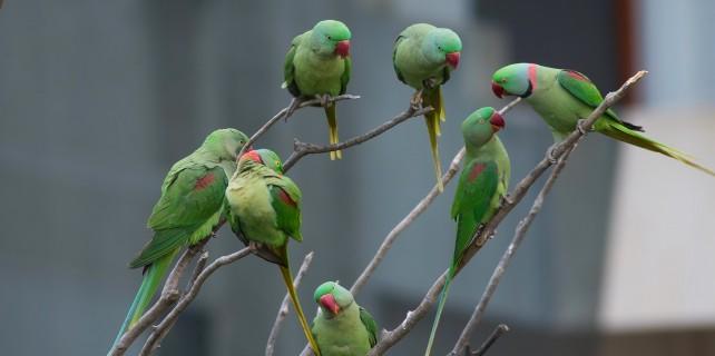 Papağanlar için ihbar yağdı...