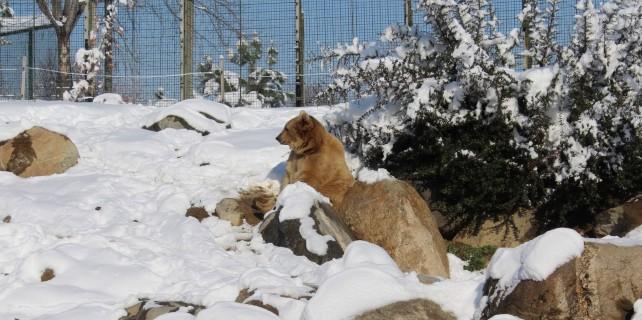 Kış uykusu tutmayan ayıların kar keyfi