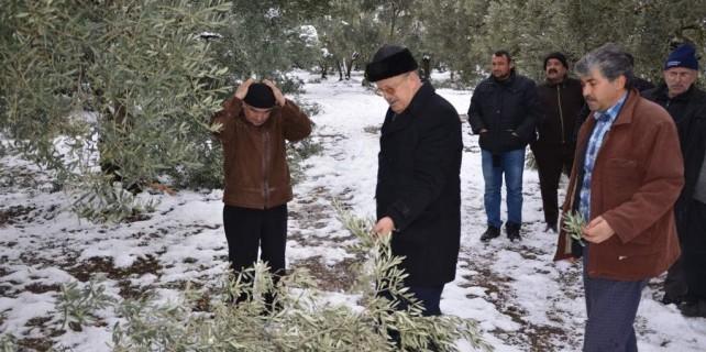 Kar zeytin ağaçlarını kırdı