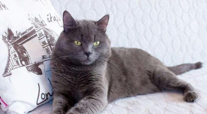 Bu kediyi bulana ödül! Bursa'da kayboldu...