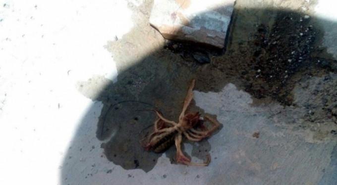 Et yiyen örümcek herkesin korkulu rüyası oldu
