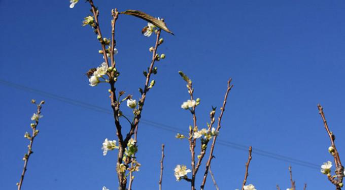 Erik ağacı aralık ayında çiçek açtı