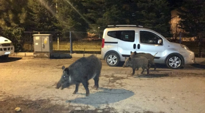 O şehri domuzlar bastı!