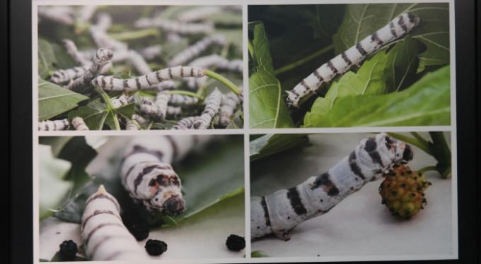 Bursa'nın ipek böceği, dünyaya bilimsel referans oldu