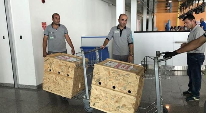 Tedavileri tamamlanan yavru ayılar uçakla Bursa'ya gönderildi