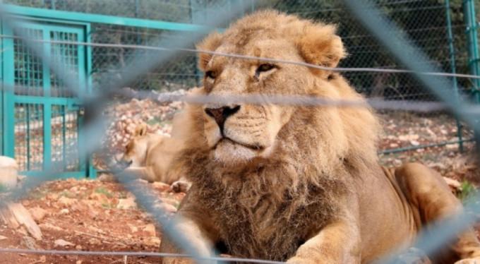 Kafesinden kaçan aslan çalışanı öldürdü!