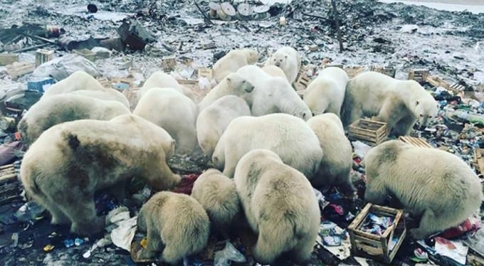 Kutup ayıları şehre indi, acil durum ilan edildi!