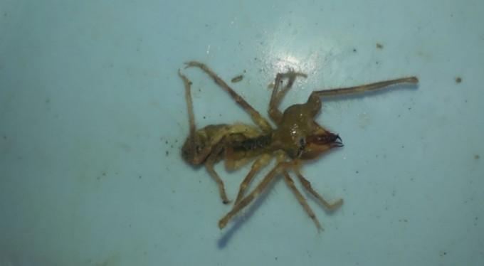 'Sarıkız' örümceği alarma geçirdi!