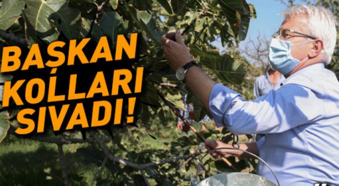 Başkan kraliçe incirinin hasadına katıldı
