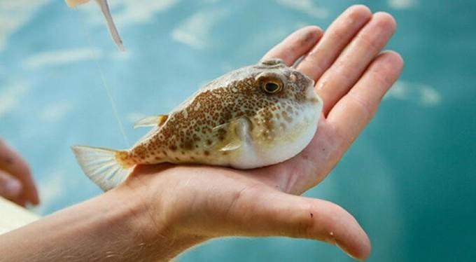 Balon balığı desteği başladı, balık başı 5 TL destek