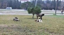 Türkiye'de saldırgan köpekler üzerine doktora yapan tek uzman konuştu