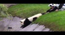 Bakıcılarına zor anlar yaşatan sevimli panda